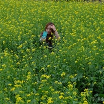 ทุ่งดอกผักกาด Jeju island