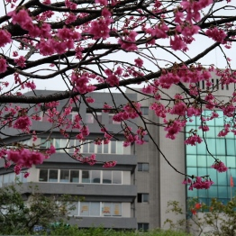 ช่วงปลายกุมภา...ดอกไม้บานสะพรั่ง / Beitou, Taipei, Taiwan